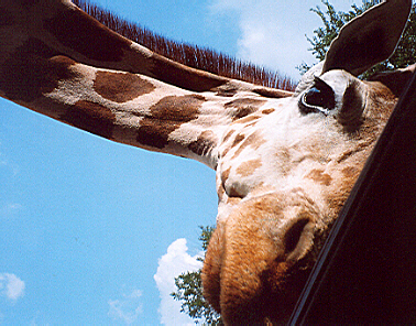 Curious Giraffe